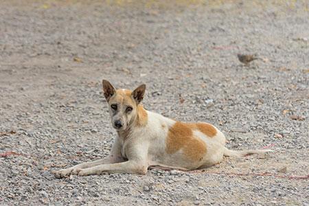 Poate ajuta vaccinarea canină orală la eliminarea rabiei la nivel global?