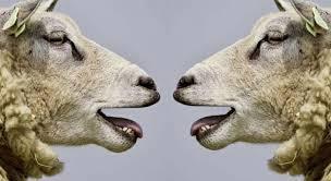 Scrapie, boală mortala la ovine, la o ferma de oi din Hunedoara!