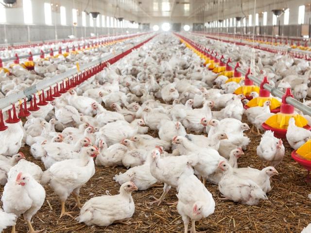 Sesiune științifică: Soluții nutriționale implementate în unități avicole în scopul îmbunătățirii calității oului și cărnii de pasăre
