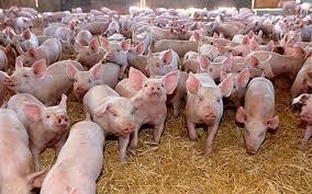 ANSVSA: Actualizarea situaţiei privind evoluţia Pestei Porcine Africane