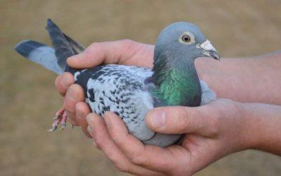 Imunizarea activă a porumbeilor contra variolei și cum trebuie realizată vaccinarea