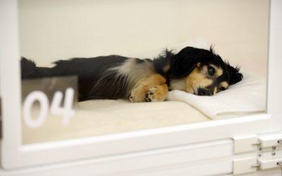 Efectul placebo în medicina veterinară